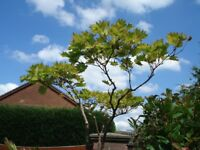 Japanese maple,Acer Shirasawanum 'Standard' type tree 7ft high x 3ft spread