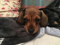 Miniature Dachshund Puppies - KC Registered - PRA Clear - Boy and Girl