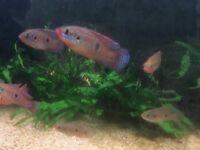 Jewel Cichlids Tropical fish £5 per pair
