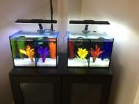 Betta duo fish tank x2 with bettas and accessories