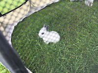 Adorable baby bunnies for sale!