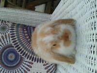 gorgeous mini lop rabbits