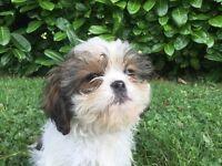 Cava-Tzu Puppies