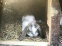 Ready now baby mini lops rabbits male and females very cute £35