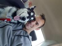 Chiot Husky sibérien pure race