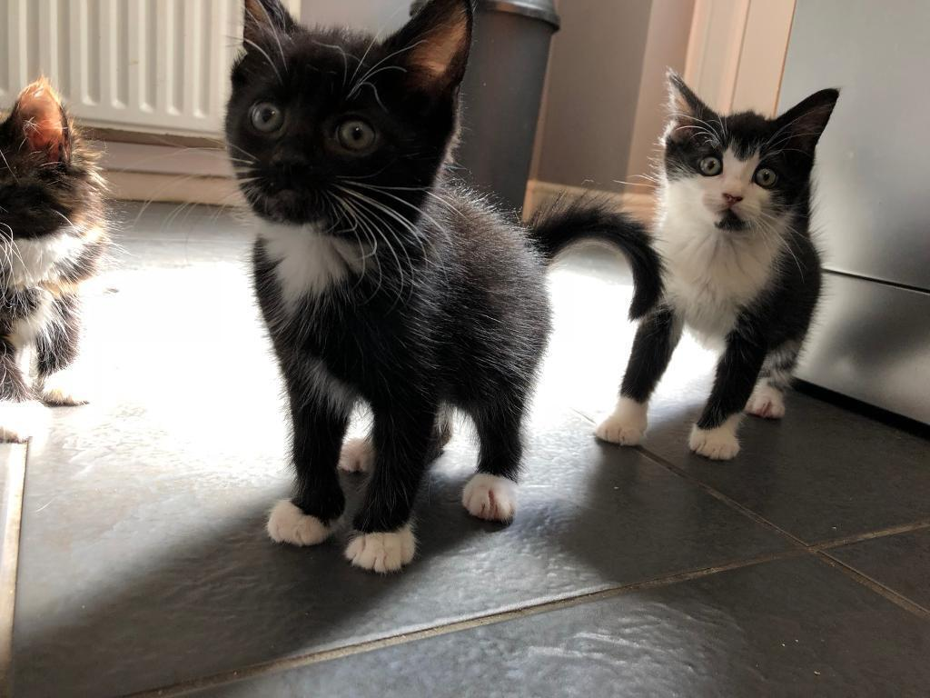 664482379e82f3 2 Kittens For Sale