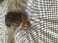 Yorkshire terrier puppies all puppies now reserved thank you for your enquires