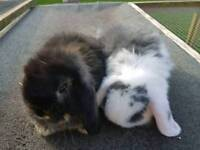 2 male mini lop rabbits