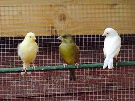Lovely greenfinch 10£ each quick sale