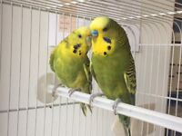 Bonded pair of budgies with for sale