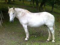 Highland Pony Merlin of Sunnyneuk 15 yr old (15 hands)