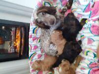 Cockapoo puppies Pra clear