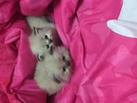 2 Female Lilac Point Himalayan kittens