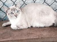 Beautiful snow female Bengal kitten spayed 6 months old