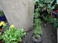 Plant for sale-Larkspur Giant Imperial plant