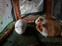 3 x male guinea pigs with indoor and outdoor set up