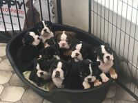 Beautiful black tri/chocolate tri English/British bulldog pups REDUCED