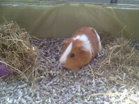Free very friendly Guinea pig with cage