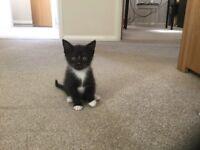 Gorgeous BSH Kittens