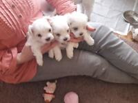 Maltese Boys 5 Generations KC registered pedigree dogs chipped, wormed, vaccinated & insured £1350