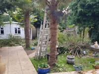 Palm Trees Established Palm Tree