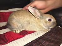 8 weeks old, flead & wormed bunny