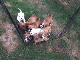 Kc registeted boxer puppies!