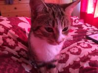 mother and daughter cats for sale. Both almost identical tabby cats