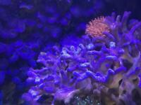 """Stylophora Blue / Purple 2"""" frag £10 or bigger if required priced accordingly"""