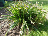 Pendulous Sedge Grass. Donation to charity