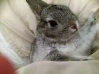 Dwarf Rabbit in Grey
