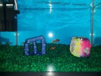 Free platy fish to rehome or complete starter set
