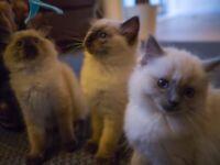 Kittens in Edinburgh | Cats & Kittens for Sale - Gumtree