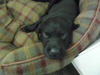 Black Labrador Puppies K.C. Registered only 1 little boy left