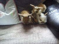 Three gorgeous lionhead rabbits and one non lionhead