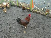 Lovely big Rhode Island Red Rooster Pure Bred. Free Range.(hens/chickens)