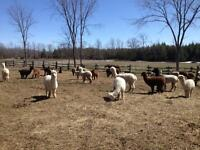 Purebred Registered Alpacas for Sale