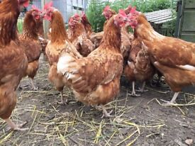 Brown hens in lay