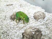 CB17 Fiji Iguanas for sale (Brachylophus fasciatus)