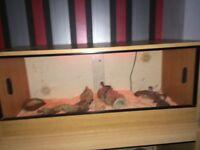 X2 leopard geckos and 3 foot set up