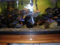 BLUE MALAWI CICHLIDS TROPICAL FISH