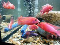 Malawi Cichlids Tropical Fish