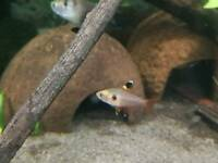 Red Phantom Tetra Tropical Fish