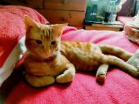 MISSING CAT LOST IN LOWER RAINHAM ROAD GILLINGHAM