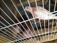 5 mixed doves for £50!!