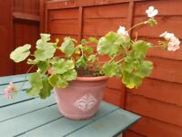 3 X GERANIUMS IN POTS, WELL ROOTED