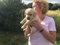 2 Golden Labrador boys