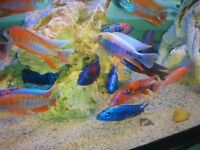 *WOW* MALAWI CICHLID'S FISH FOR SALE*Peacocks & hap's, Benga Sunshine, Red Rubin, Eureka, Ahli, OB's