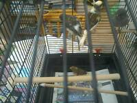 Young canaries for sale