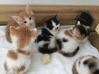 Fluffy white ginger black white dalmation spot moustache kittens